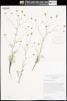 Image of Chaenactis carphoclinia