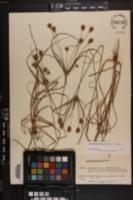Cyperus plukenetii image