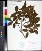 Image of Carya floridana