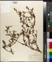 Polygonum ramosissimum var. ramosissimum image