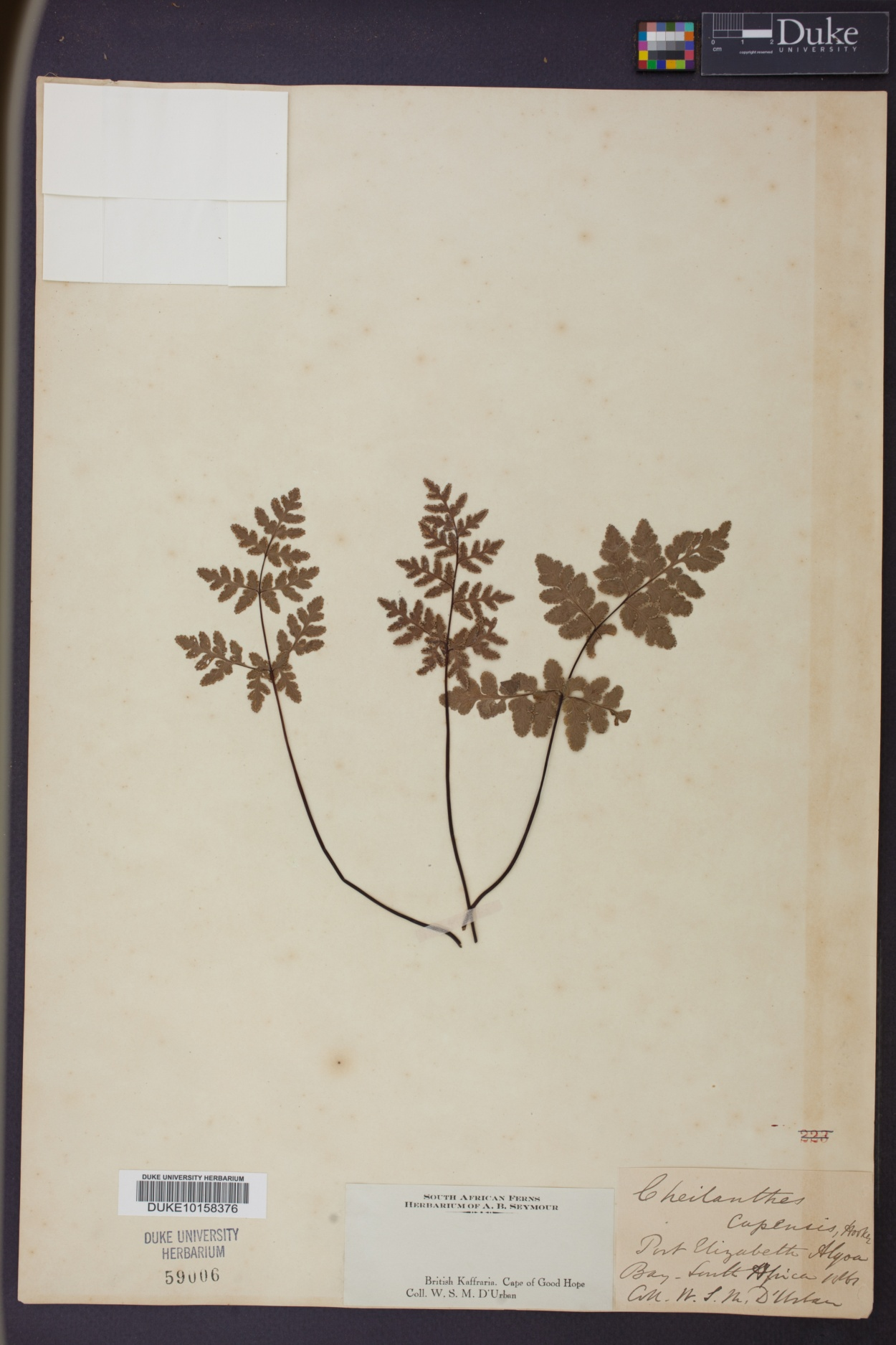 Cheilanthes capensis image