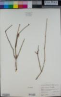 Ephedra californica image