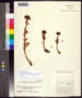 Image of Rhodiola rosea