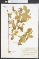 Image of Rubus sharpii