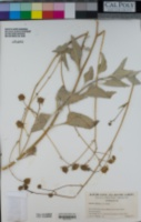 Encelia farinosa image