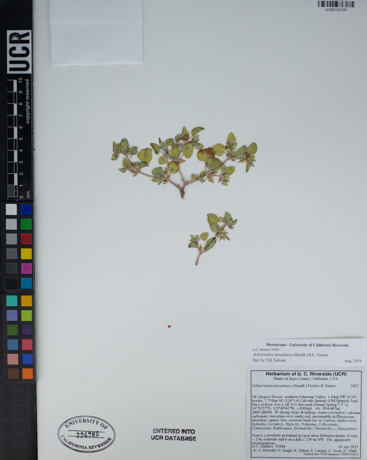 Acleisanthes nevadensis image