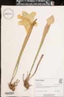 Image of Sarracenia flava