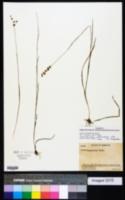 Juncus marginatus var. biflorus image