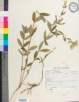 Image of Eupatorium album
