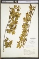 Rubus plicatifolius image