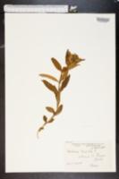 Image of Gentiana cruciata
