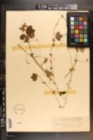 Passiflora pallens image