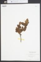 Image of Crataegus dispessa
