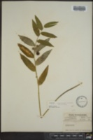 Polygonatum biflorum image