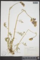 Polemonium acutiflorum image