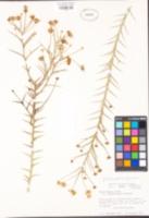 Chloracantha spinosa var. spinosa image
