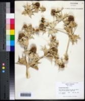 Image of Eryngium maritimum