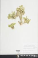Euphorbia neriifolia image