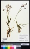 Luzula hitchcockii image