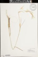 Andropogon longiberbis image