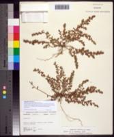Euphorbia maculata image