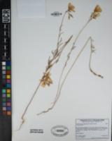 Clarkia bottae image