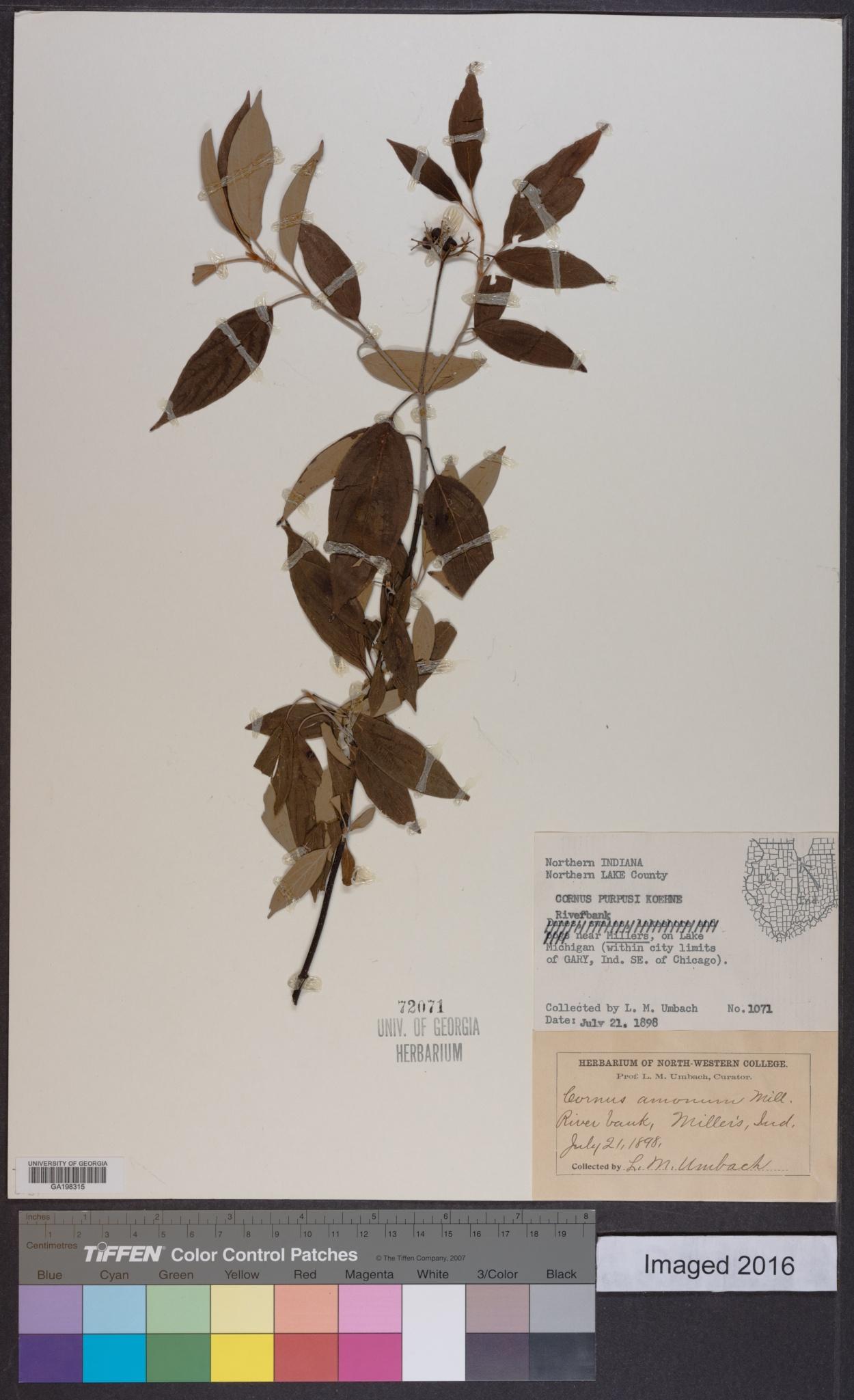 Cornus purpusii image
