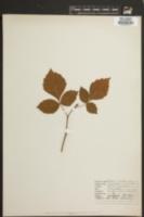 Image of Rhus canadensis