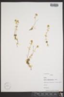 Image of Draba pseudopilosa