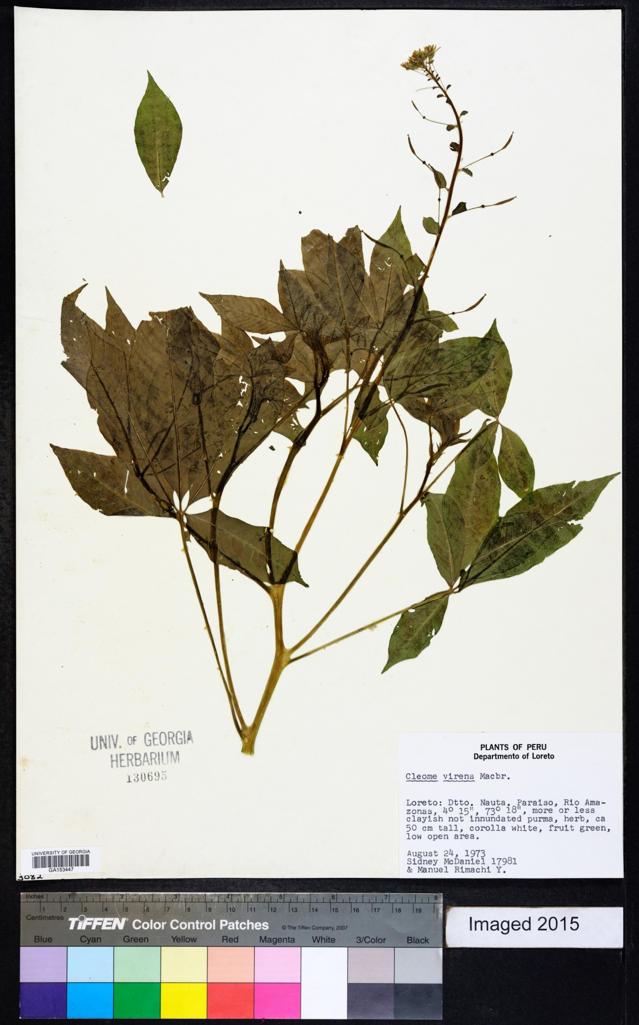 Cleome virens image