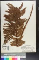 Image of Polystichum hillebrandii
