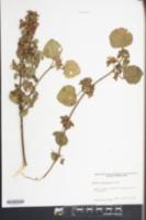 Image of Malachra alceifolia