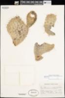 Opuntia polyacantha var. erinacea image