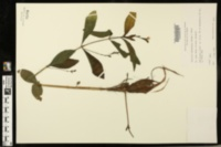 Justicia lanceolata image