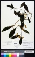 Bothriocline ripensis image