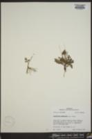 Sceptridium lunarioides image