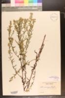 Symphyotrichum simmondsii image