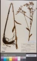Image of Arnoglossum sulcatum