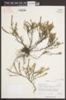 Hudsonia ericoides image
