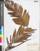 Image of Blechnum auratum