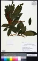 Castanea pumila image