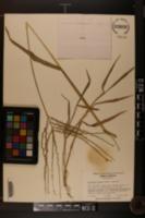 Digitaria phaeothrix image