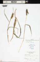 Cenchrus echinatus image
