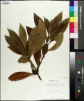Amarolea americana image