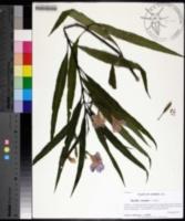 Ruellia simplex image