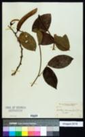 Image of Dioclea coriacea