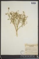 Image of Dalea polydenia