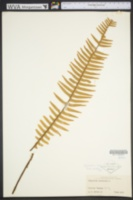Image of Pecluma ptilodon