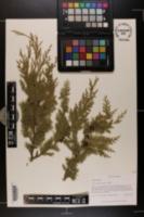 Chamaecyparis henryae image