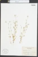 Phacelia dubia image